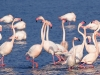 flamingos-in-gruissan
